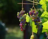 可口的葡萄图片(10张)