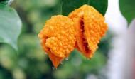 成熟的金铃子图片(6张)
