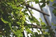 新鲜的青葡萄图片(13张)