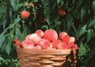 桃子图片(10张)