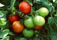 收获西红柿图片(8张)