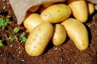 新鲜的土豆图片(13张)