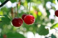 挂在树梢的樱桃图片(10张)