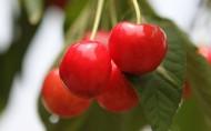 树上的樱桃图片(13张)