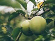 好吃的青苹果图片(10张)