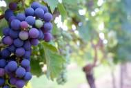 藤蔓上的葡萄图片(11张)