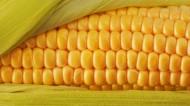 玉米图片(9张)