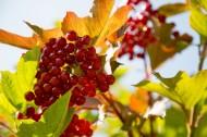 红色浆果图片(8张)