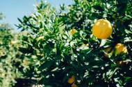 清新的柠檬图片(13张)