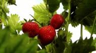 等待采摘的新鲜草莓图片(12张)