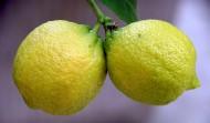 挂在枝头的柠檬图片(11张)
