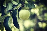 酸酸的青苹果图片(8张)
