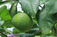 绿色未成熟的柚子图片(11张)