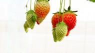 未成熟的草莓图片(13张)