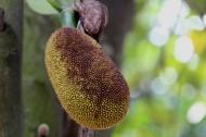 鲜美菠萝蜜图片(10张)