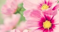 小清新雏菊花朵背景图片(44张)