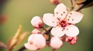 唯美小清新桃花背景图片(20张)