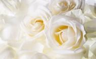 纯洁高贵的白玫瑰图片(22张)