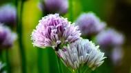 紫色的洋葱花图片(13张)