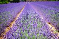 紫色的薰衣草花田图片(11张)