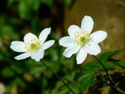 洁白的银莲花图片(25张)