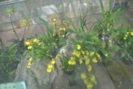 文心兰植物图片(6张)