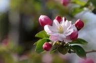 粉色海棠花图片(12张)