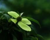 荔枝花图片(8张)
