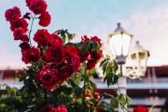 漂亮的玫瑰图片(15张)