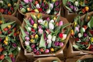 颜色各异的郁金香图片(8张)