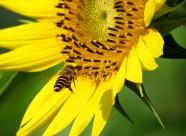 金黄色的向日葵图片(14张)
