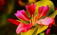 绚丽紫荆花图片(13张)