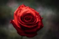 鲜艳的红玫瑰图片(11张)
