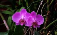 蝴蝶兰图片(9张)