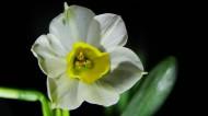 白色水仙花图片(11张)