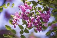 紫色香花槐图片(9张)