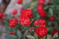 火红的月季花图片(10张)