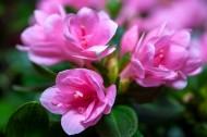 漂亮的紫色杜鹃花图片(10张)