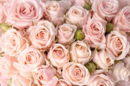 象征美丽爱情的玫瑰图片(13张)