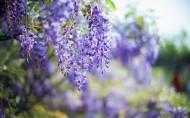 各色紫藤花海图片(7张)