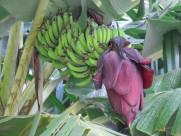 香蕉树图片(17张)