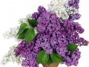 紫色丁香花图片(14张)
