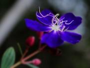 巴西野牡丹花卉图片(5张)