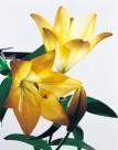 金色百合花朵图片(2张)