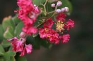 紫薇花图片  (8张)