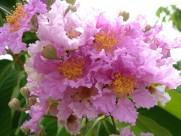 大叶紫薇植物图片(4张)