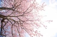 唯美的樱花景色图片(8张)