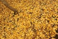 满地金黄银杏叶图片(12张)