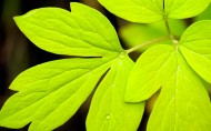 绿叶图片(25张)