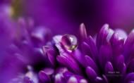 鲜花上的露珠图片(13张)
